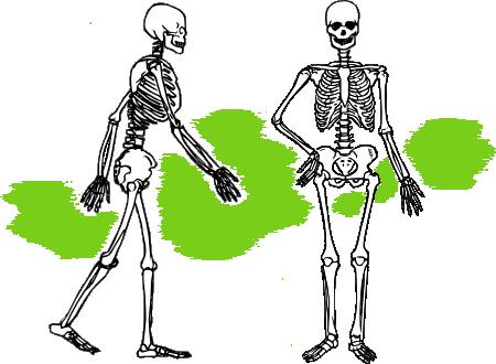 Скелет човека