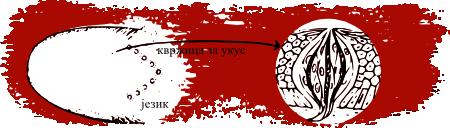 Квржице на језику