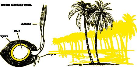 Како расте кокосов орах