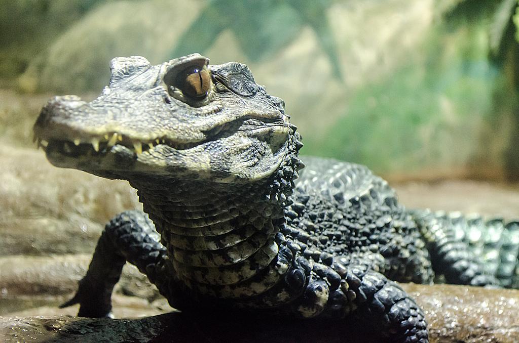 Alligator by CarmenQueasy
