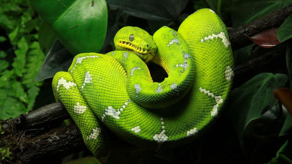 Green Tree Python by das_miller