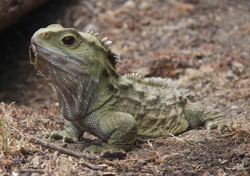 Hatteria - Tuatara in Invercargill (New Zealand), Wikipedia