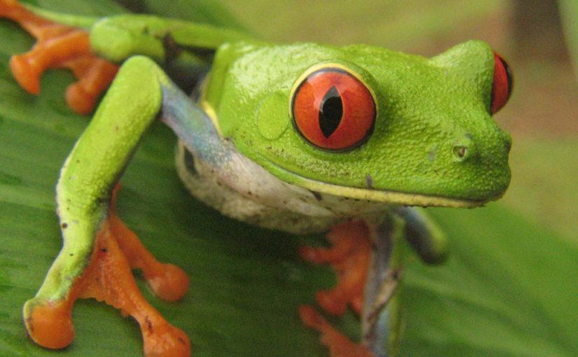 Red eyed tree frog (Agalychnis callidryas), аутор Teague O'Mara.jpg
