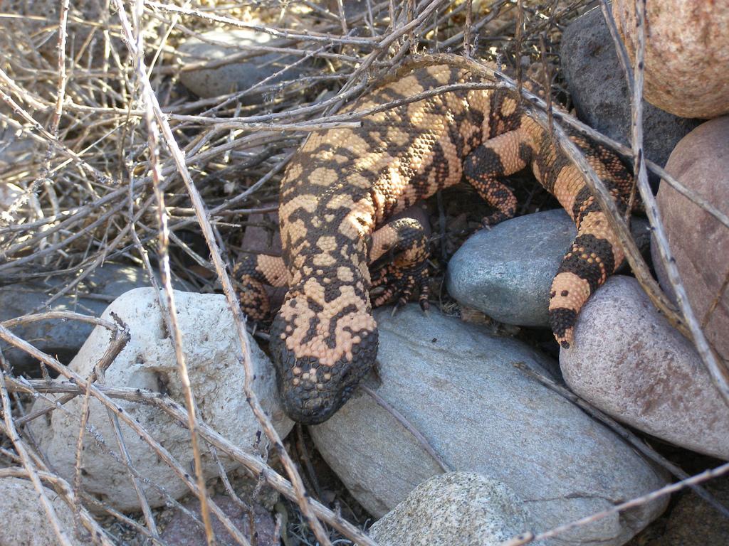 Чудовиште Гила (фото: Aztec Lizard)