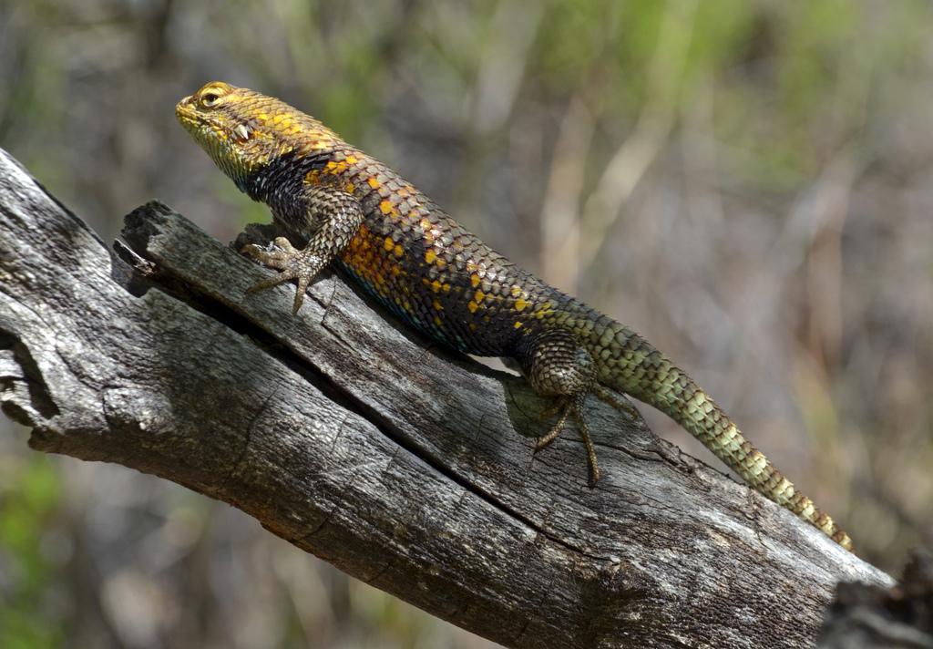Grand Canyon Nat. Park - Desert Spiny Lizard (Sceloporus magister) (фото: Grand Canyon NPS)