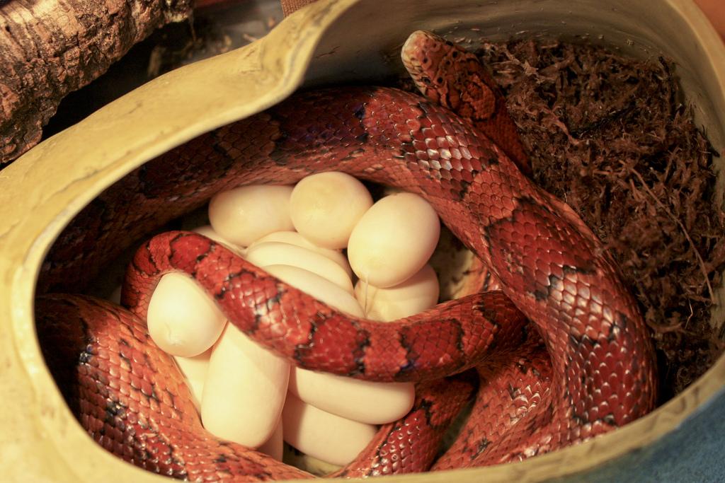 Змија лежи на јајима (фото: Sirenz Lorraine)